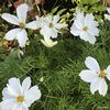 Cosmos sonata White 1L ready May